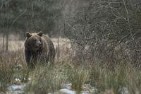 sichernd... Europäischer Braunbär *Ursus arctos*