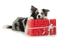 Hund mit Weihnachtsgeschenk