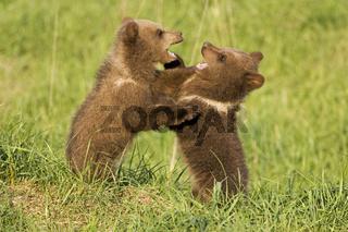 Jungtiere beim Spielen, Europaeischer Braunbaer (Ursus arctos), Bayern Deutschland, young brown bear, Bavaria, Germany