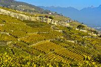 Terrassierte Lavaux Weinberge im Herbst, Lavaux, Waadt, Schweiz