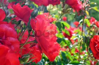 Spring natural background with red roses flowers