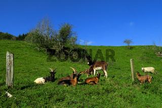 Ziegen, Esel und Schaf auf der Schwaebischen Alb
