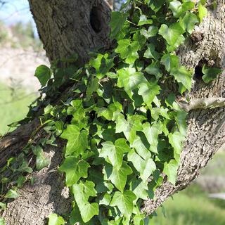 Alter Olivenbaum mit Efeu bewachsen