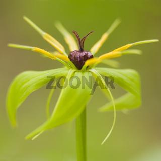 Blühende Einbeere (Paris quadrifolia) - blooming  herb Paris (Paris quadrifolia)