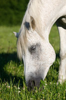 white horse is grazing in a spring meadow
