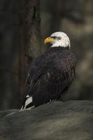 oben im Wald... Weisskopfseeadler * Haliaeetus leucocephalus *