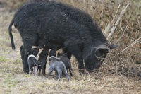 Wild hog with cute piglets