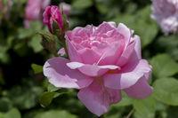 Rose (Rosa sp.)