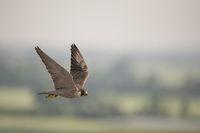 hoch über der Landschaft... Wanderfalke *Falco peregrinus*