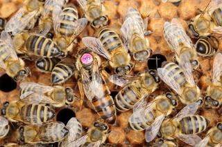 Bienenkönigin sitzt im Schwarm