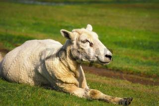 Glückliches Schaf