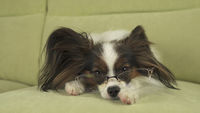 Dog Papillon dog in glasses lies on couch on his paws and thinks