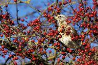 Wacholderdrossel im Baum