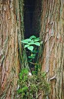 Gegabelter Baumstamm mit grünem Bewuchs und Schnecke