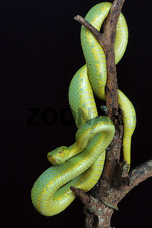 Bamboo pit viper, Trimeresurus gramineus from Kanger Ghati National Park, Bastar District, Chhattisgarh