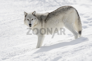 im Schnee... Wolf *Canis lupus*
