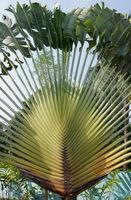 Baum der Reisenden, Ravenala madagascariensis