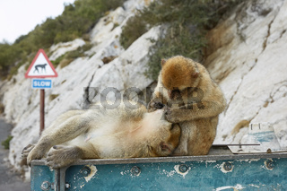 Couple of the Barbary Macaque monkeys of Gibraltar.