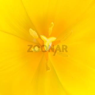 Macro close up shot of yellow tulip