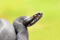 detailed portrait of black female european common viper ( Vipera berus )
