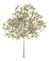 flowering plum tree isolated on white background