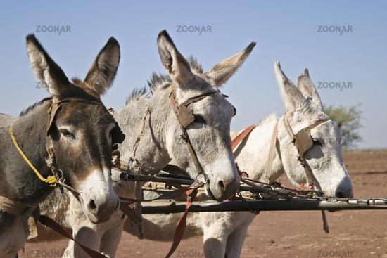 Esel_Namibia_Afrika