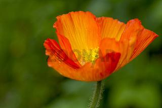 Gartenmohn mit Regentropfen