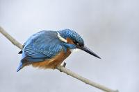 Fischjäger in seinem Element... Eisvogel *Alcedo atthis* auf der Jagd