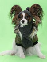Beautiful young continental spaniel papillon in a winter jacket and hat with a scarf on green background