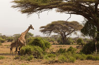Wild giraffe in Serengeti national park, Tanzania.