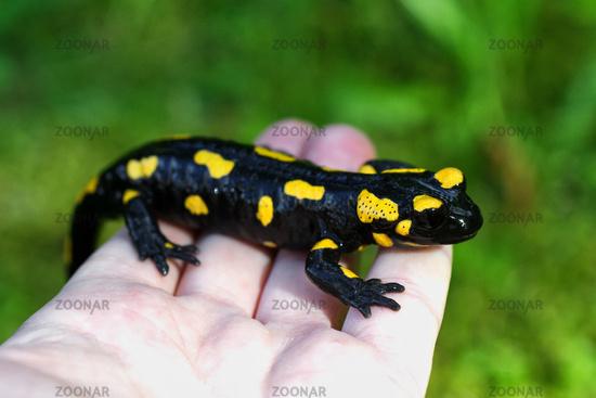 Fire salamander (Salamandra salamandra) on a people hand