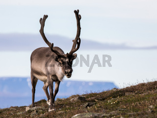 Svalbard male reindeer with big antlers walking in Bjorndalen in summer, Svalbard