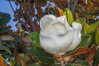 flower of turkish magnolia