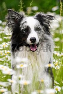 Hund im Margeritenblumenfeld