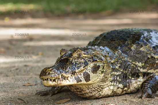 Large alligator at the ground