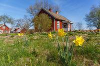 Daffodil flowers in a garden at a farm