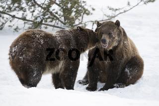 Geheimnisse... Grizzlybären *Ursus arctos horribilis*