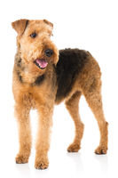 Stehender Airedale Terrier