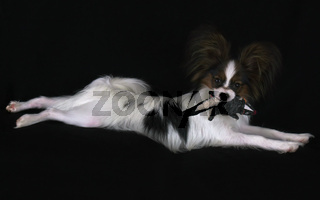 Beautiful young male dog Continental Toy Spaniel Papillon with plush toy on black background
