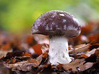 Schleiereule, Cortinarius praestans