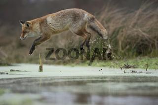 im Sprung... Rotfuchs *Vulpes vulpes* springt über einen morastigen Bachlauf