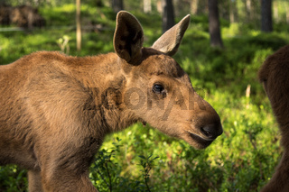 European elk Alces alces calf in green bilberry bushes