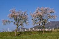 Mandelbaumblüte (Prunus dulcis)