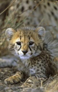 Geparden, Jungtiere, Acinonyx jubatus, Cheetah, kitten