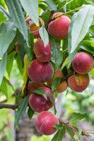 Pfirischbaum