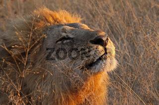 Panthera leo, Löwe im frühen Morgenlicht im Moremi Wildreservat Botswana