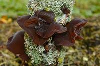 Judasohr, Auricularia auricula-judae