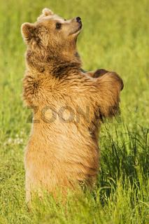 Europaeischer Braunbaer, Baer, (Ursus arctos), Bayern, Deutschland, Brown Bear, bavaria, germany