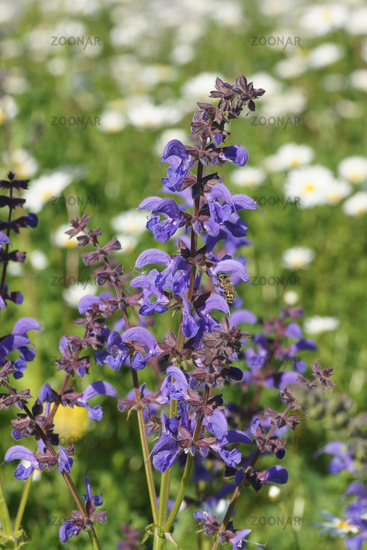 Salvia pratensis, Wiesensalbei, Meadow Sage, mit Biene, with bee