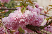 Japanische Zierkirsche, Kiku-shidare-zakura, Prunus serrulata